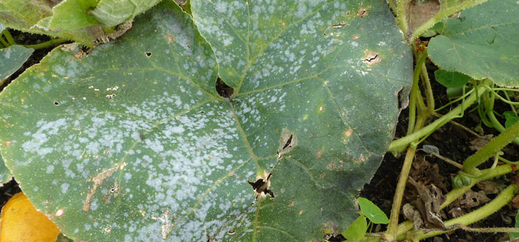 Cucurbit powdery mildew