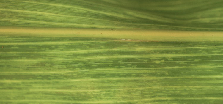 Maize dwarf mosaic virus