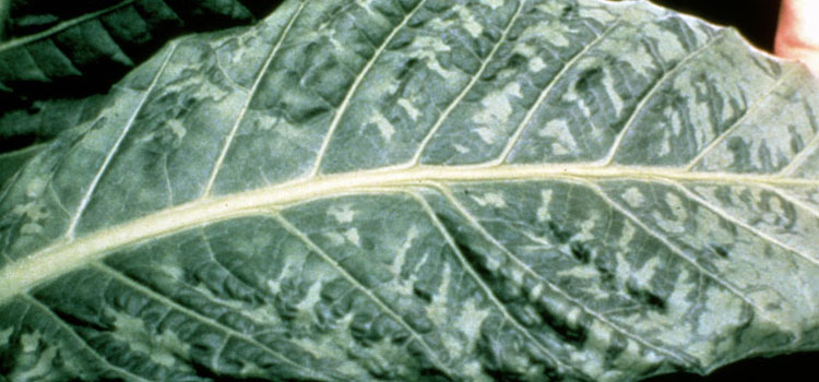 Tobacco mosaic virus on tobacco leaf