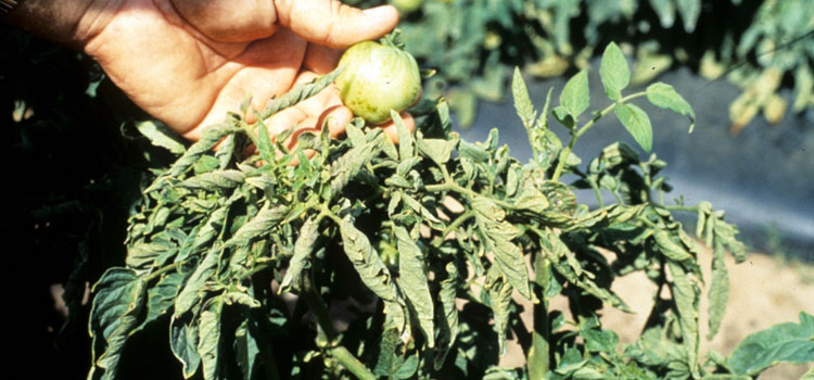 Tomato Spotted Wilt Virus on foliage