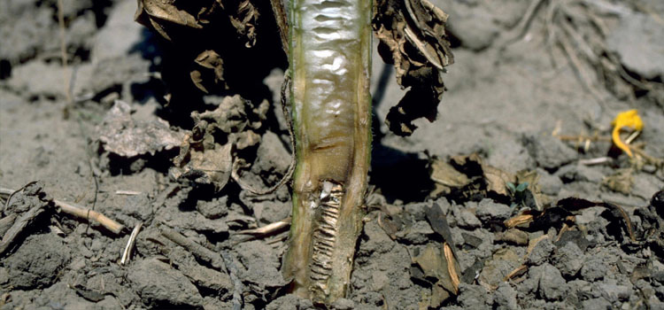 Verticilium wilt on sunflower