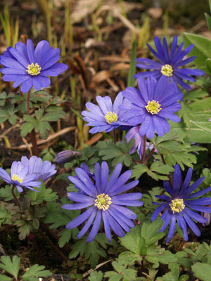 Anemone, also known as Windflower