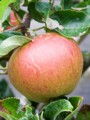 Apple (Dwarf)