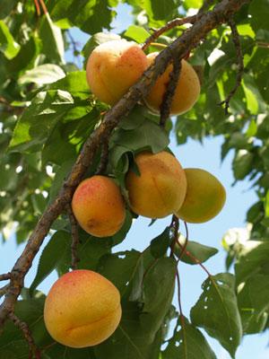 Apricot (Large)