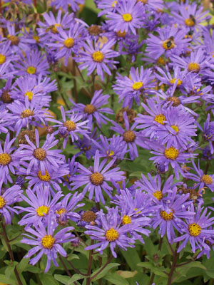 Aster, also known as China Aster