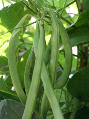 Beans (Runner), also known as Pole beans