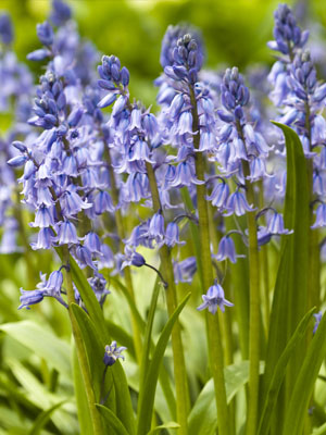 Bluebell, also known as English Bluebell