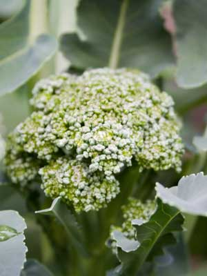 Broccoli (Green), also known as Green Broccoli