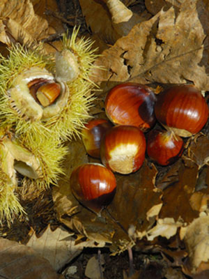 Chestnut (Sweet), also known as Chestnut (Chinese)