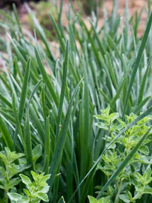 Chives (Garlic)