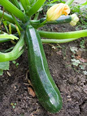 Courgette, also known as Marrow, zucchini