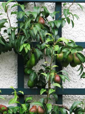 Fruit (Trellised), also known as Several easy-to-grow fruits