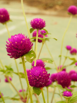 Gomphrena, also known as Globe Amaranth