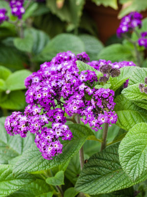 Heliotrope, also known as Cherry Pie Plant