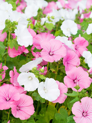 Lavatera, also known as Mallow
