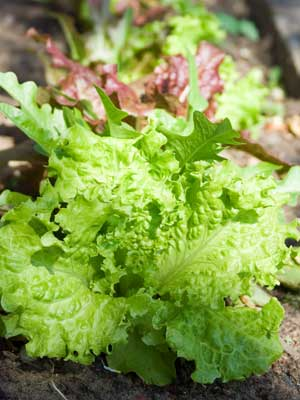 Lettuce (Leaf), also known as Loose leaf lettuce