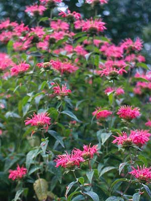 Bergamot, also known as Bee Balm
