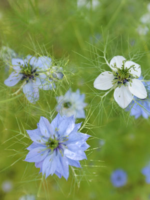 Nigella, also known as Love-in-a-Mist