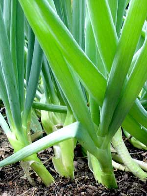 Onions (Green), also known as Scallions