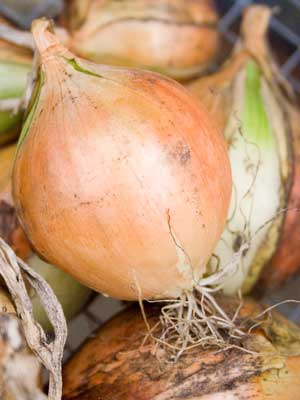 Onion (Fall planted)