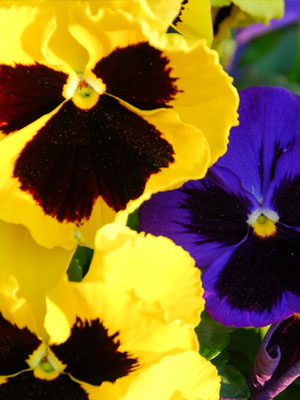 Pansy , also known as Viola