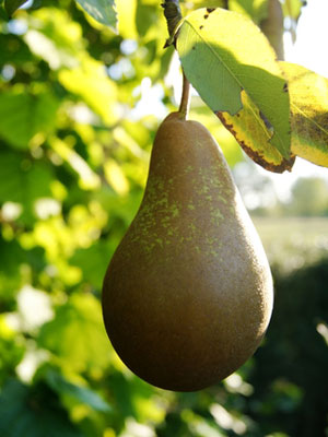 Pear (Large)