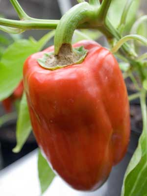 Capsicum, also known as Bell Pepper