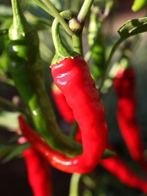 Chilli, also known as Chilli Pepper, Hot Pepper
