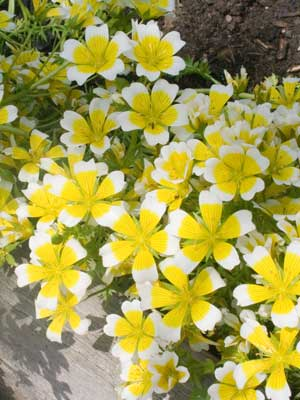 Poached Egg Plant, also known as Limnanthes Douglasii