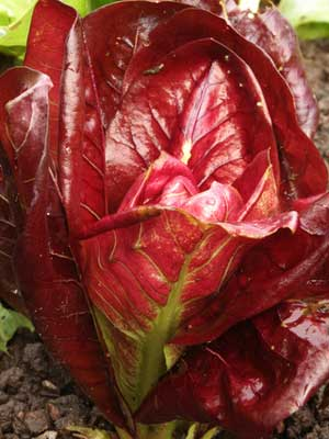Radicchio, also known as Chicory