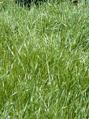 Rye (Annual)