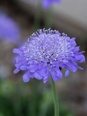 Pincushion Plant, also known as Scabiosa (Sweet)