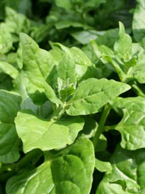 Spinach (New Zealand)