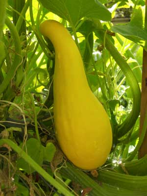 Squash (Summer), also known as Zucchini, pattypan