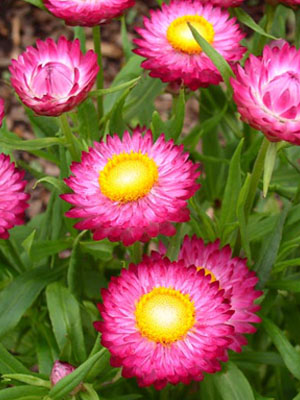 Strawflower, also known as Everlasting Daisies