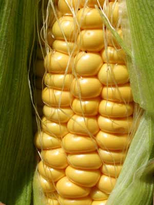 Sweetcorn, also known as Mielies, corn