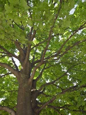 Tree (Large)