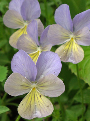 Viola, also known as Johnny Jump-Up
