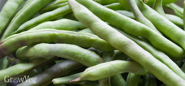 Beans (French), also known as Dwarf, Bush beans