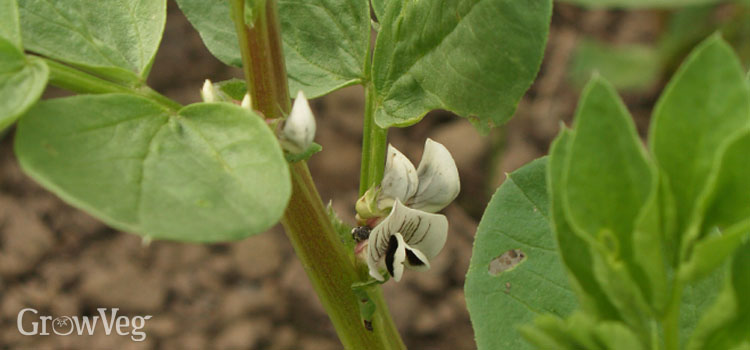 Beans (Broad), also known as Fava beans