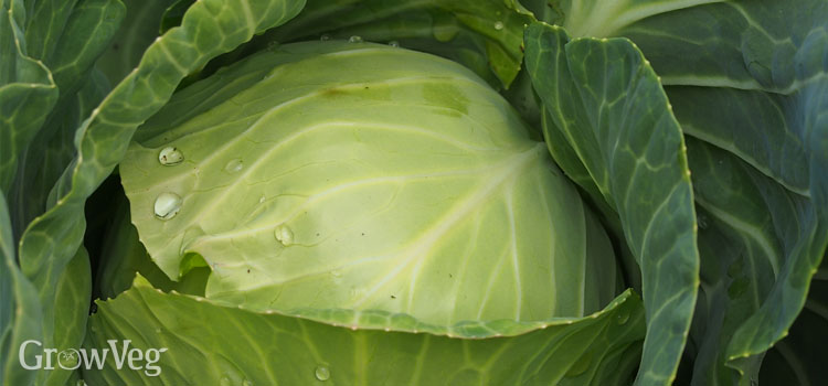 Cabbage (Short Maturity)