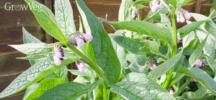 Grow Your Own Fertiliser Using Comfrey
