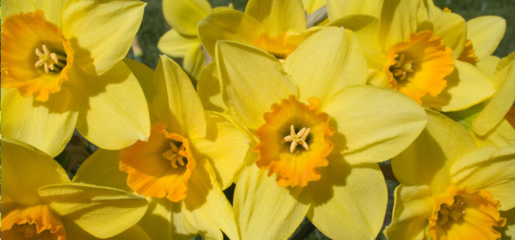 Daffodil, also known as Narcissus