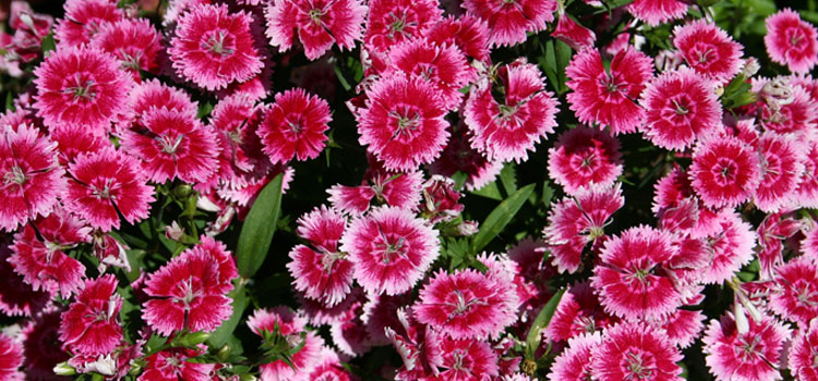 Dianthus, also known as Pinks