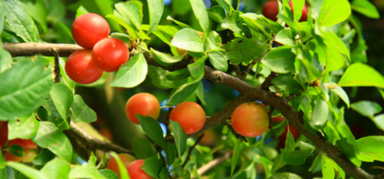 Fruit (Dwarf Tree)
