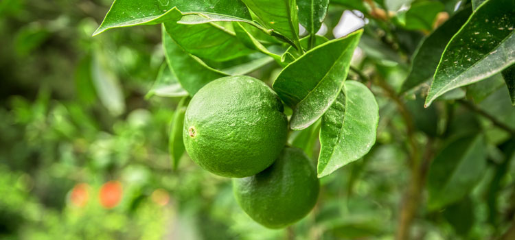 Lime (Container Grown)
