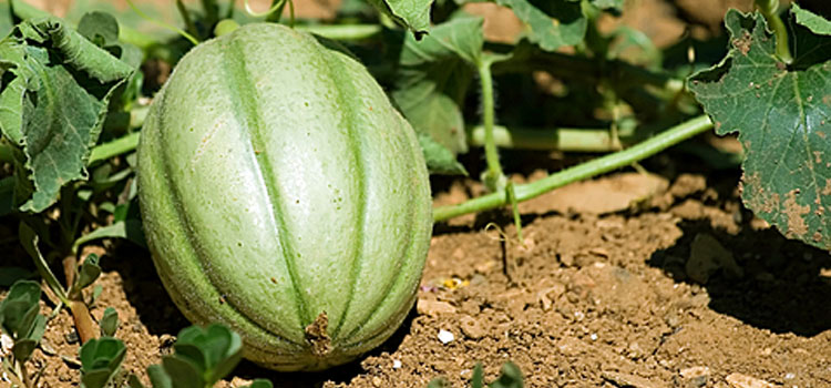 https://s3.eu-west-2.amazonaws.com/growinginteractive/plants/dreamstime-melon-2x.jpg