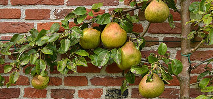 Pear (Espalier)