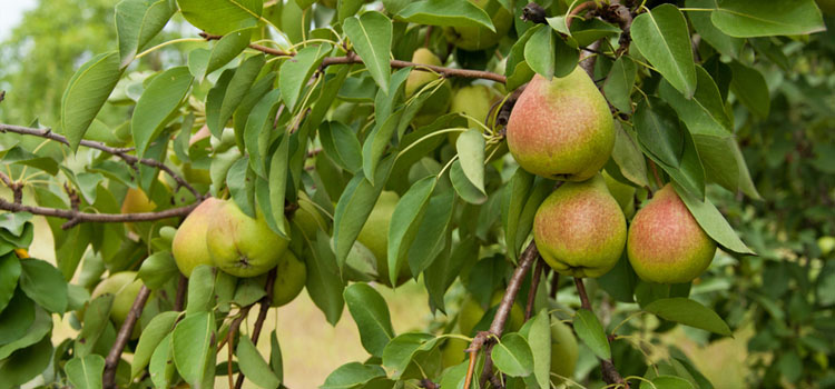 https://s3.eu-west-2.amazonaws.com/growinginteractive/plants/dreamstime-pear-large-1x.jpg