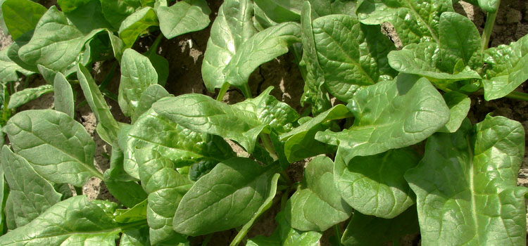 Spinach (Climbing), also known as Malabar Spinach